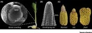 Expanding the Regulatory Network for Meristem Size in Plants: Trends in Genetics | Plant Gene Seeker -PGS | Scoop.it