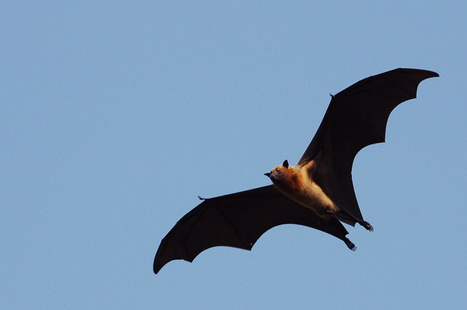 Are bats carrying the next plague? - Toronto Star | MERS-CoV | Scoop.it