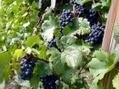 Pesticides : du poison dans les cheveux de viticulteurs   Toxique, soyons vigilant !   Scoop.it