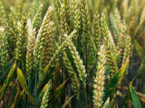 JIC mention: Wheat rust: The fungal disease that threatens to destroy the world crop | BIOSCIENCE NEWS | Scoop.it