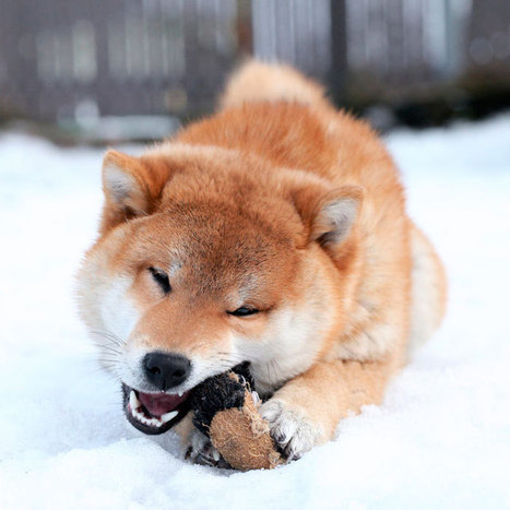 The 20 Best Cold-Weather Dog Breeds | Dog Lovers | Scoop.it