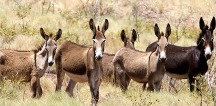 Horse Slaughter: Australia set to export wild donkey meat and edible skins to China | The Jurga Report: Horse Health, Welfare, and Care | Scoop.it