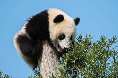 Un panda géant vivant en liberté découvert dans le sud-ouest de la Chine | The Blog's Revue by OlivierSC | Scoop.it