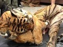 New study reveals scale of persistent illegal Tiger trade | Wildlife and Conservation | Scoop.it