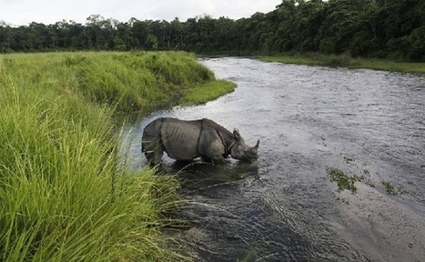 Full Year With No Wildlife Poaching Of Nepal Rhinos, Tigers | Global Animal | Nature Animals humankind | Scoop.it