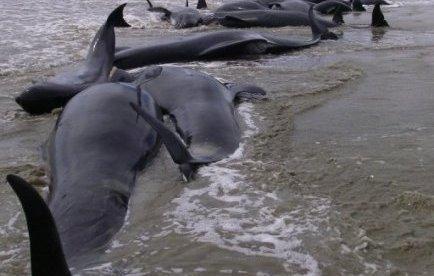 Une centaine de baleines mortes échouées sur une plage en Nouvelle Zélande | Mais n'importe quoi ! | Scoop.it