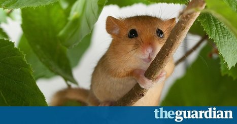 How the dormouse is returning to England's hedgerows after 100 years | 100 Acre Wood | Scoop.it