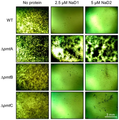 Plant Defensins NaD1 and NaD2 Induce Different Stress Response Pathways in Fungi | Plant pathogenic fungi | Scoop.it