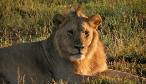 Americans Are Complicit In Driving Lions To Extinction | GarryRogers NatCon News | Scoop.it