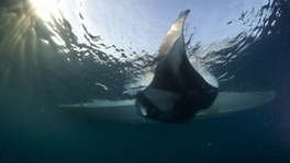 "Une raie Manta ""hybride "" en Mer Rouge ! 
