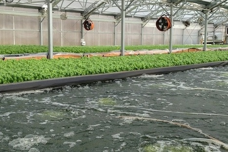 Why Aquaponics Could be Urban Farming's Ace in the Hole | Vertical Farm - Food Factory | Scoop.it