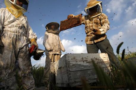 Gaza connait sa meilleure récolte de miel en une décennie | Abeilles, intoxications et informations | Scoop.it