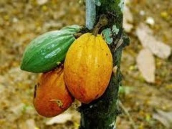 PBC and Touton partnership to boosts cocoa production - spyghana.com | Fairly Traded News | Scoop.it