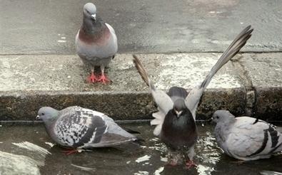 Mort depuis trois ans, des pigeons permettent de retrouver son corps | Think outside the Box | Scoop.it