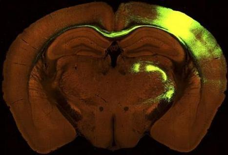 Scientists unveil first wiring diagram of mouse's brain | Amazing Science | Scoop.it