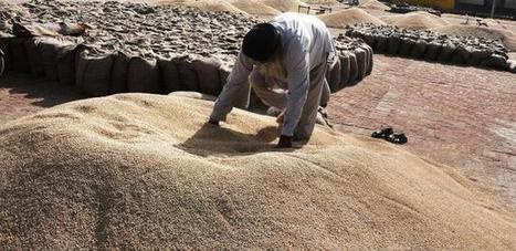 India: Punjab wheat growers face double whammy | Wheat | Scoop.it