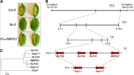 Plant Physiology (2014): Fungal Endopolygalacturonases Are Recognized as Microbe-Associated Molecular Patterns by the Arabidopsis Receptor-Like Protein RESPONSIVENESS TO BOTRYTIS POLYGALACTURONASES1 | Spoelder | Scoop.it