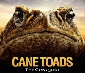 Attack of the cane toads: we're all doomed. Well, Australians are anyway - Telegraph.co.uk (blog) | frogs | Scoop.it