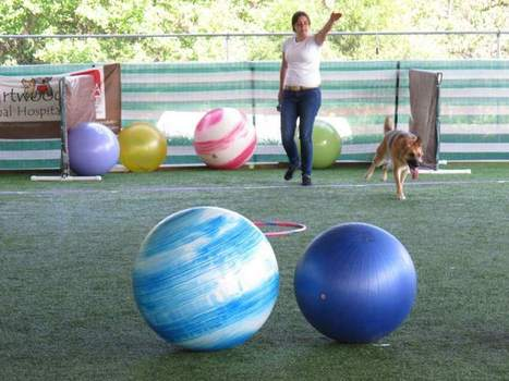 German dog sport of Treibball catches on | A Community of Dog | Scoop.it