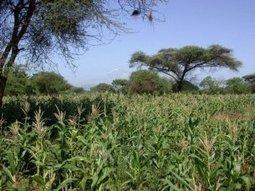 Des chenilles africaines résistent au maïs OGM - Reporterre   Eco Solutions   Scoop.it