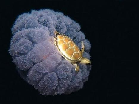 Twitter / GooglePics: Just a turtle riding a jellyfish. ...   Turtle Conservation News for KTCS   Scoop.it