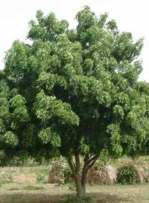 Neem: Antioxidant and Apoptotic effect in cases of cervical cancer | Herbs & Spices | Scoop.it