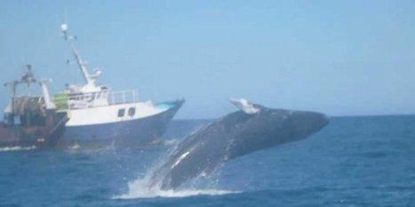 Vidéo : une baleine à bosse saute au large du bassin d'Arcachon | Tourisme sur le Bassin d'Arcachon | Scoop.it