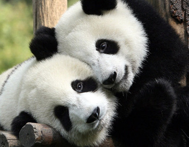pandas in love | Indigenous Spirituality | Scoop.it