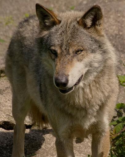 Une jeune femme tuée par le loup de l'Estérel (Les Adrets-de-l'Estérel, 18 juin 1788) | Rhit Genealogie | Scoop.it