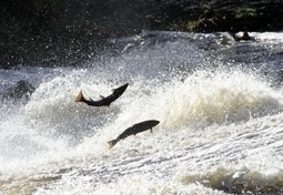 Heat has salmon suffering - My Columbia Basin | Fish Habitat | Scoop.it