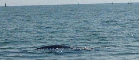 Bénodet.  La 1ère #baleine franche #arctique jamais vueen France ! | Arctique et Antarctique | Scoop.it