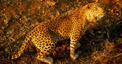 Four leopards a week being killed in India for skin | Wildlife Trafficking: Who Does it? Allows it? | Scoop.it