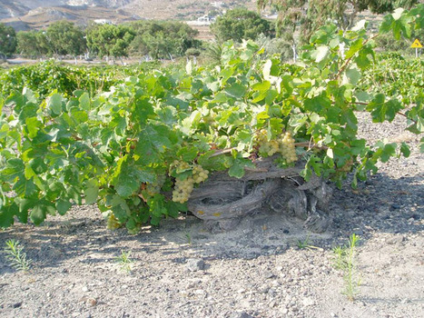 Tuscan Collectibles: Bibi Graetz Testamatta - The Vineyard   Wine ratings, Wine reviews, Wine tasting notes & Wine videos   Southern California Wine  and  Craft Spirits   Scoop.it