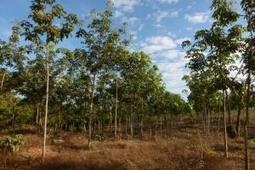 Environment: Expanding rubber-tree plantations seen as huge threat to biodiversity on Southeast Asia | GarryRogers Biosphere News | Scoop.it