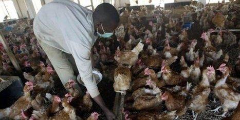 Grippe aviaire au Cameroun : près de 15 000 volailles tuées dans une ferme à Yaoundé - JeuneAfrique.com | Afrique: développement durable et environnement | Scoop.it