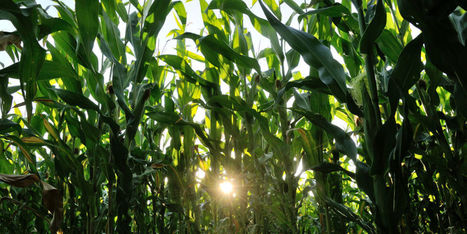 La culture des OGM facilitée dans l'Union européenne | Un peu de tout et de rien ... | Scoop.it