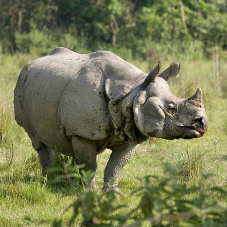 Nepal Celebrates Two Consecutive Years of Zero Rhino Poaching :: ANNAMITICUS | Conservation Success | Scoop.it