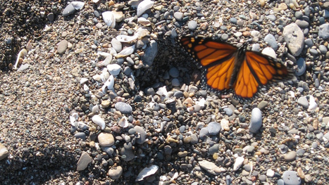 Monarch butterflies seem to remember a mountain that hasn't existed for millennia | Product Design | Scoop.it