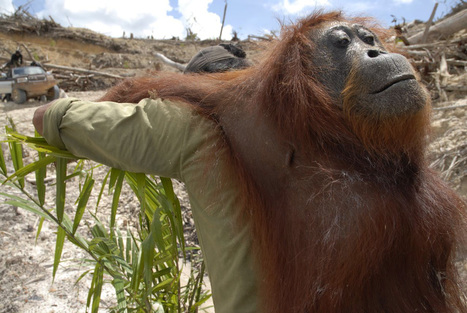 Borneo Orangutan Population Found, 995 Secret Nests: Wildlife Conservation Society   LHS Geography   Scoop.it