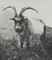 Neolithic Goats, Isle of Mull - eastcoastandbeyond.co.uk | Ancient Origins of Science | Scoop.it
