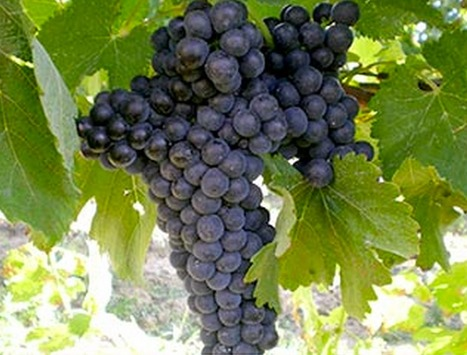 Italy's Weird and Wonderful Wine Grapes   Wines and People   Scoop.it