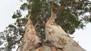Fight to Save 100-year-old Eucalyptus in Santa Monica | Australian Plants on the Web | Scoop.it
