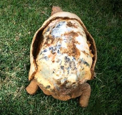Quand l'impression 3D vient sauver la vie d'une tortue | Biodiversité | Scoop.it
