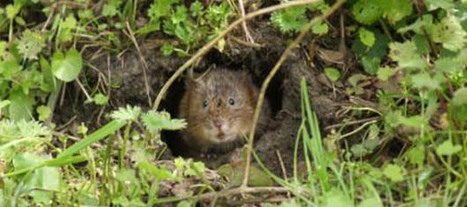Could the #WaterVole become #extinct in the #UK? #Photo courtesy of Jo Cartmell | Rescue our Ocean's & it's species from Man's Pollution! | Scoop.it