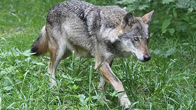 Nouvelles attaques de loups dans la Drôme | Loup | Scoop.it