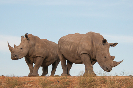 Rhino Crisis Round Up: The First 10 Days of 2013 | PlanetSave.com | Rhino poaching | Scoop.it