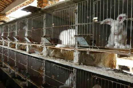 Horrific video showing live rabbits having fur ripped out sparks ban on sale ... - Mirror.co.uk | Furs from animals should be banned | Scoop.it