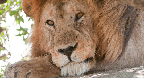 Wildlife Service makes last-ditch effort to save remaining African lions - National Monitor   My Funny Africa.. is this the lions last roar?   Scoop.it