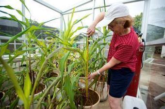Greenhouse 'time machine' sheds light on corn domestication | MAIZE | Scoop.it