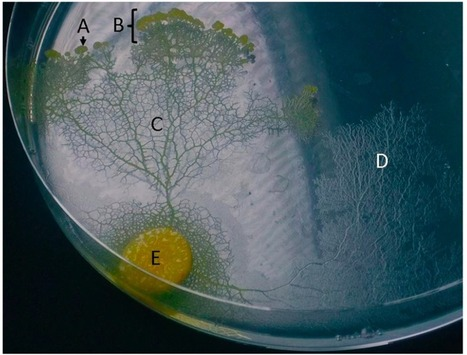 Brainless slime mold uses external spatial 'memory' to navigate complex environments | KurzweilAI | The virtual life | Scoop.it